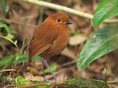 Chestnut Antpitta (Grallaria blakei) (Gavin Edmondstone) Tags: grallariablakei chestnutantpitta antpitta bird owletlodge peru