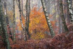 Forest Fire (willblakeymilner) Tags: nikon tamron forest fog mist woodland nature colourful beech birch trees bracken cold autumn autumnal wychwood oxfordshire england uk