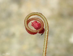 Tiny Sundew Bud with a Visitor (Lani Elliott) Tags: macro nature closeup insect wasp bokeh tiny bud upclose naturephotography drosera tasmanianflora lanielliott sundew sundewbud macrounlimited