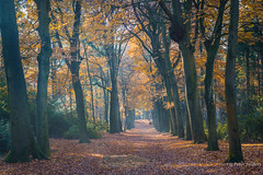Be like a tree and let the dead leaves drop (Rumi) (Peter Jaspers) Tags: frompeterj© 2019 olympus omd em10 1240mm28 forest trees beech fall autumn herfst lievensberg brabant brabantslandschap landscape light haze colors zoomland nature