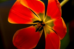 Tulip (San Francisco Gal) Tags: tulip tulipa flower fleur bloom blossom backlight macro ngc npc