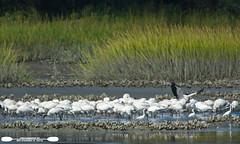 Wood Stork Feediing Frenzy (freshairphoto) Tags: wood stork feeding frenzy oyster bed south carolina huntington beach state park artspearing nikon d7100 200500 zoom tripod