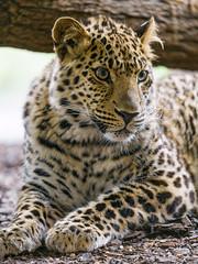 Leopard relaxing (Tambako the Jaguar) Tags: leopard big wild cat lying resting relaxing portrait face inside paw looking cute vienna zoo austria nikon d5