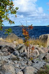 Rowan by the sea (Stefano Rugolo) Tags: stefanorugolo pentax k5 pentaxk5 smcpentaxm50mmf17 kmount rowan sea autumn water blue red pebbles rock balticsea coast windy clouds sky landscape sweden hälsingland vintagelens manualfocuslens manualfocus manual