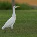 Bubulcus ibis (Cattle Egret - Héron Garde-boeuf)