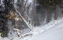 Contrée lointaine (Kilian Sanlis) Tags: neige snow winter hiver alsace hautrhin bagenelles wild sauvage motherwood foret wood tree arbre nature