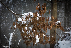 Nature gelée (Kilian Sanlis) Tags: neige snow winter hiver alsace hautrhin bagenelles wild sauvage motherwood foret wood tree arbre nature