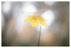 Yellow (leo.roos) Tags: leaf leaves bladeren autumn fall herfst geel a7r2 solaag bokhnatur natur colo bos manu prime plant a7rii zeissikonalinarii12f60mm carlzeiss cz alinar6020 zeissikonalinar602 projectionlens projectorlens darosa leoroos vanleydenhof denhaag thehague