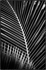 Palm Frond (peterrath) Tags: plant nature palm treee frond bw abstract blackandwhite canon eos 5dsr