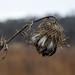 Prairie Thistle