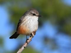Vermilion Flycatcher, Pyrocephalus rubinus (Dave Beaudette) Tags: birds vermilionflycatcher pyrocephalusrubinus reidpark tucson pimacounty arizona