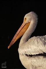 Pelican on Black (Jasper's Human) Tags: whitepelican bird portrait
