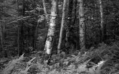 Birches (bingley0522) Tags: leicaiiic voigtlandercolorskopar50mmf25 fp4 ilfordfp4 diafine epsonv500scanner adirondacks castlerocktrail bluemountainlake birches trees forest easternhardwoodforest autaut