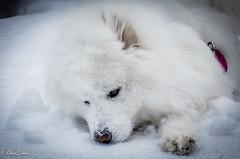 Repos (Kilian Sanlis) Tags: neige snow winter hiver alsace hautrhin bagenelles wild sauvage motherwood chien dog samoyede samoyed animal
