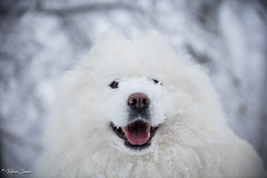 Bonheur (Kilian Sanlis) Tags: nature wild sauvage alsace hautrhin bagenelles neige snow montagne chien dog animal samoyed samoyede nordic flickrunitedaward