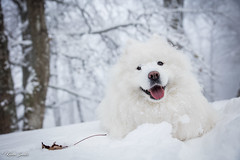 Heureuse (Kilian Sanlis) Tags: nature wild sauvage alsace hautrhin bagenelles neige snow montagne chien dog animal samoyed samoyede nordic