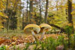 Pilze im herbstlichen Wald (KaAuenwasser) Tags: pilze pilz natur wald baum bäume landschaft moos herbst herbstlich blätter blatt laub färbung farbe farben jahreszeit november 2019 gelb hut schirm pflanzen holz faul fäule bokeh nah makro