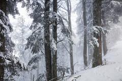 Calme et sauvage (Kilian Sanlis) Tags: nature wild sauvage alsace hautrhin bagenelles neige snow montagne arbre tree france