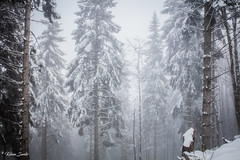 Contrée lointaine (Kilian Sanlis) Tags: neige snow winter hiver alsace hautrhin bagenelles wild sauvage motherwood foret wood tree arbre nature france flickrunitedaward