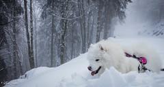 Neige (Kilian Sanlis) Tags: neige snow winter hiver alsace hautrhin bagenelles wild sauvage motherwood chien dog samoyede samoyed animal
