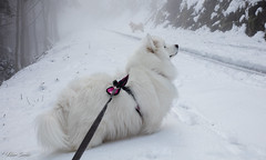 A l'affût (Kilian Sanlis) Tags: neige snow winter hiver alsace hautrhin bagenelles wild sauvage motherwood chien dog samoyede samoyed animal