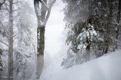 Un air de Yukon (Kilian Sanlis) Tags: nature wild sauvage alsace hautrhin bagenelles neige snow montagne arbre tree