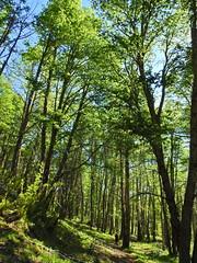 Sector Coiguería (Mono Andes) Tags: andes chile chilecentral ñuble regióndeñuble bosque floranativadechile nothofaguspumilio nothofagusobliqua fagaceae trekking backpacking