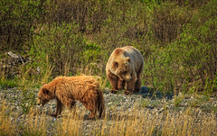 Cub and Mother Grizzly (http://fineartamerica.com/profiles/robert-bales.ht) Tags: alaska animals bear forupload haybales people photo places awild brown wildlife river outdoors nature animal grizzly usa katmai mammal hunting predator fishing furry eating claw powerful brownbear carnivore hairy amazing angry salmon alaskanbear american strong red fur america alaskan national grass park robertbales ussuri ursusarctos northamerica