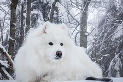 Neige (Kilian Sanlis) Tags: nature wild sauvage alsace hautrhin bagenelles neige snow montagne chien dog animal samoyed samoyede nordic