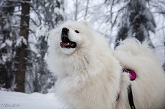 Emerveillement (Kilian Sanlis) Tags: nature wild sauvage alsace hautrhin bagenelles neige snow montagne chien dog animal samoyed samoyede nordic