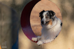 47/52 Playground Patrol (Jasper's Human) Tags: 52weeksfordogs aussie australianshepherd playground dog patrol