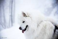 Neige (Kilian Sanlis) Tags: wild snow nature montagne alsace neige sauvage hautrhin bagenelles dog chien animal samoyed nordic samoyede