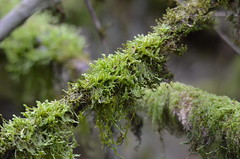 Moss in the Forest (Neal D) Tags: bc langley campbellvalleypark branch branches moss