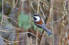 Chestnut-backed Chickadee (Neal D) Tags: bc langley campbellvalleypark bird chickadee chestnutbackedchickadee poecilerufescens