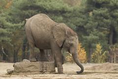 Afrikaanse Olifant - Safaripark Beekse Bergen - Hilvarenbeek (Jan de Neijs Photography) Tags: dierentuin zoo dierenpark nl holland thenetherlands dieniederlande diergaarde animal dier beeksebergen safaripark safariparkbeeksebergen hilvarenbeek sbb noordbrabant canonef100400mmf4556lisiiusm canonnl olifant afrikaanseolifant loxodontaafricana elephant elefant landdier 100400