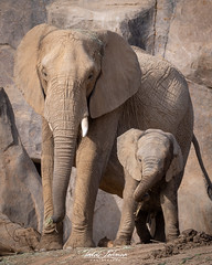 Ndula and Zuli (ToddLahman) Tags: africanelephant animal escondido eyelock elephants elephantvalley elephant elephantbaby portrait photooftheday photography photographer profileheadshot sandiegozoosafaripark safaripark nikond500 nikonphotography nikon beautiful