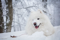 Douceur (Kilian Sanlis) Tags: nature wild sauvage alsace hautrhin bagenelles neige snow montagne chien dog animal samoyed samoyede nordic