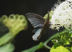 Great Mormon, Papilio memnon, Парусник Мемнон (nikolayloginov) Tags: butterfly thailand бабочка таиланд