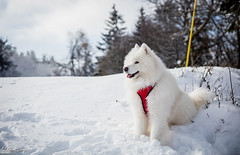 Blizzard (Kilian Sanlis) Tags: nature wild sauvage alsace hautrhin bagenelles neige snow montagne chien dog animal samoyed samoyede nordic
