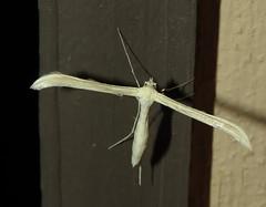 Plume moth (Bug Eric) Tags: animals wildlife nature outdoors insects bugs moths lepidoptera tnc thenatureconservancy lasanimascounty colorado usa plumemoths plumemoth pterophoridae jecanyonranch northamerica september82019