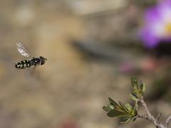 Austroscaeva melanostoma (gerardo.carinao) Tags: sietetazas parquenacional parquenacionalsietetazas mosca chile 2019 insectos austroscaevamelanostoma