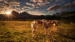 Horses for Courses (Neha & Chittaranjan Desai) Tags: italy dolomiti dolomites mountains seiser alm sassoluongo sunrise dawn horses nature landscapes travel grasslands