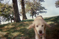 (Benedetta Falugi) Tags: zolfi zolfo dog canino field trees tuscany tree hill green running goldenretriver leaves shootingfilm summer sheshootsfilm believeinfilm benedetafalugi beauty free friend friendship tuscanhills film filmisnotdead filmphotography film35mm filmcamera fujisuperia400 filmgrain filmisgod filmportrait thefilmcommunity theanalogueproject istillshootfilm ishootfilm wwwbenedettafalugicom womeninphotography analogphotography analog analogue air run nature countryside photofilm photofilmy littledoglaughedstories