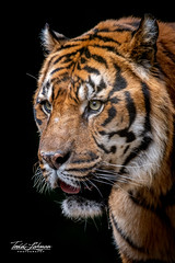 Denver (ToddLahman) Tags: denver sumatrantiger tiger tigertrail sandiegozoosafaripark safaripark mammal male beautiful portrait photooftheday photography photographer profileheadshot nikond500 nikonphotography nikon