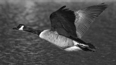 Goose in flight (2/2) (Franck Zumella) Tags: bird oiseau big gros goose geese oie swan cygne blanc white nature lake lac eau water fly flying voler wildlife vie sauvage sony a7s a7 tamron 150600
