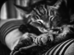 Ne croyez pas que je dors...! / Don't believe that I am sleeping...! (vedebe) Tags: noiretblanc netb nb bw monochrome animaux chat chats cat cats dormir repos