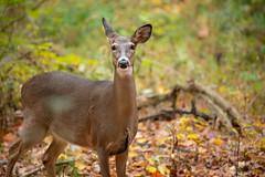 Doe (Eric Tischler) Tags: deer doe ohio autumn wildlife