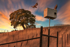 Evening Hunt (larwbuck) Tags: birds landscape autumn california clouds colors composite country fall fence grass rural sunset travel tree