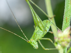 Bush Cricket 1 (Lr Home) Tags: a6000 sel30m35 insect leaf macro