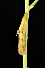 Sinpunctiptilia emissalis (dhobern) Tags: lepidoptera pterophoridae pterophorinae sinpunctiptiliaemissalis aranda act australia november 2019